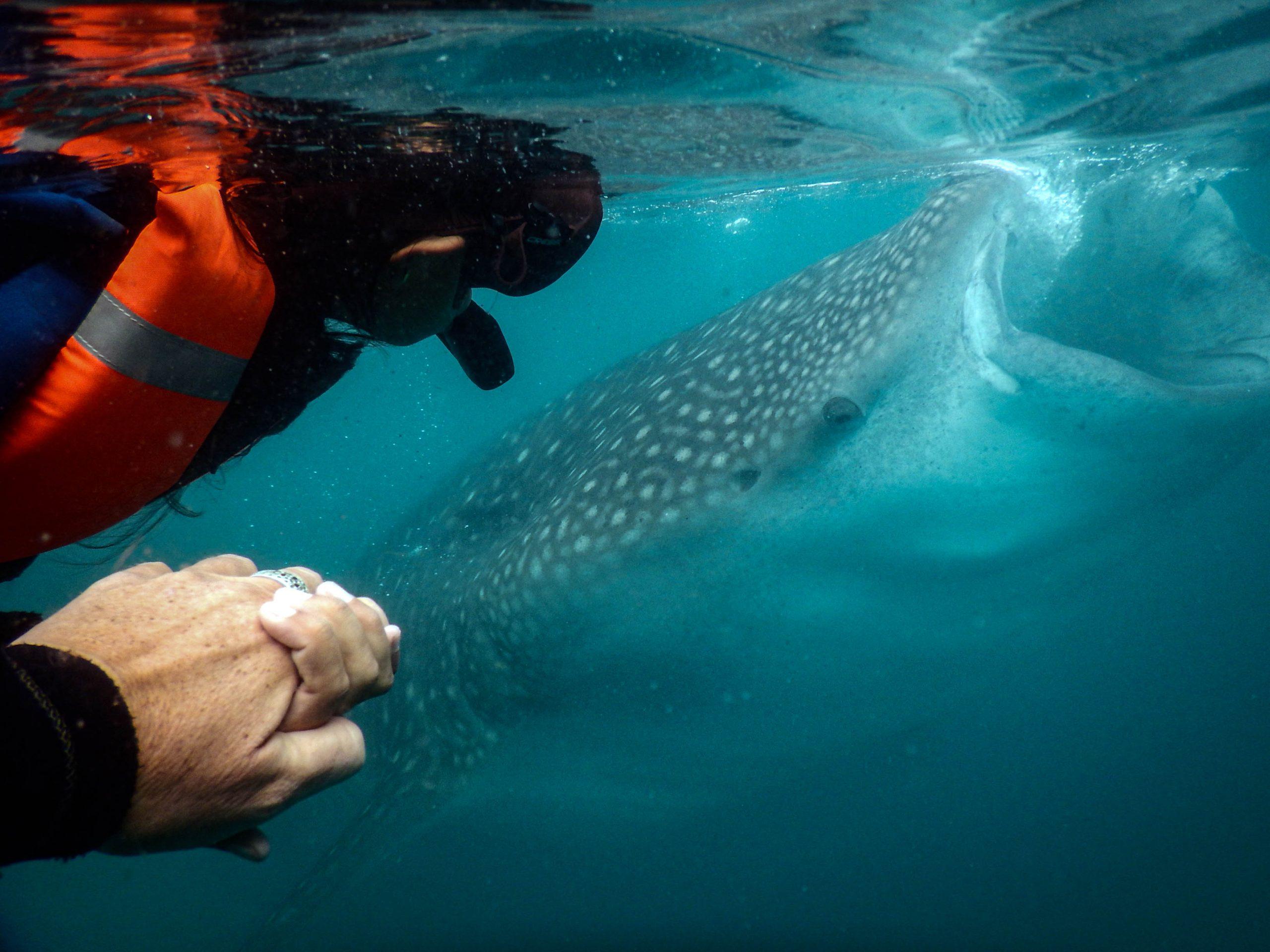 Whale shark snorkel tour