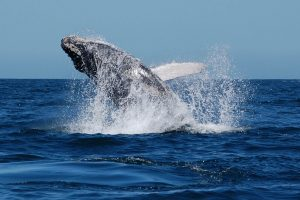 Humpback Whale backflip