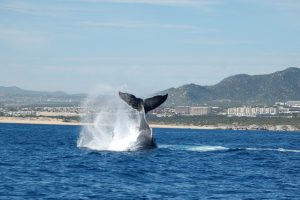 Humpback Whale Watching in Cabo